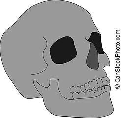 Human skull, illustration, vector on white background.