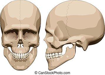 Human skull (male)