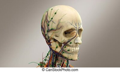 Human Skull, Male Head With Nerves, Veins And Lymphatic...