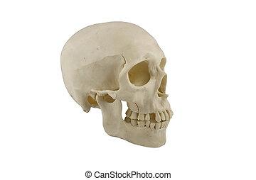 Human skull model isolated on white