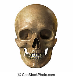 Human skull on a white background