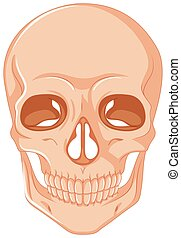 Human skull on white background