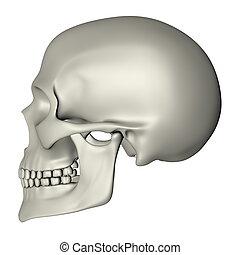 Human Skull - Side View