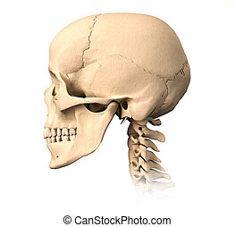 Very detailed and scientifically correct human skull. side view, on white background. Anatomy image.