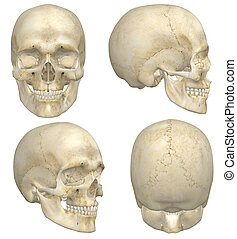 Human Skull - A illustration containing four views, front,...