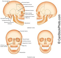 Human Skull structure. Skull anatomy labeling. Medical model...