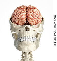 Human skull transversal cross section with brain. Front view...