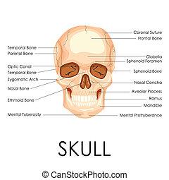 Human Skull - vector illustration of diagram of human skull