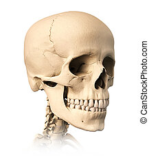 Human skull. - Very detailed and scientifically correct ...