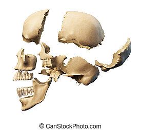 Human skull with parts exploded. Side view, on white...