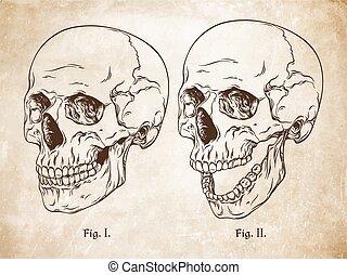 Human skulls set isolated vector
