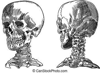 Human skull,vector