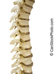 Human Spinal-column model, isolated on white