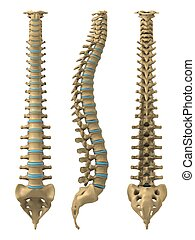 human spine - 3d rendered illustration from different views ...