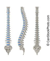 human spine - 3d rendered illustration from different views...