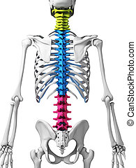 Human spine - 3d rendered illustration - human spine