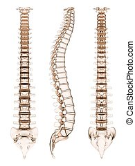 human spine - 3d rendered illustration of different views of...