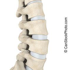 Human Spine Anatomy Illustration. 3D render