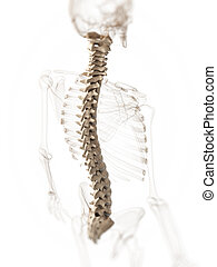 Human spine - 3d rendered illustration of a spine