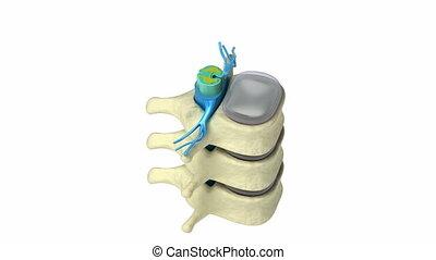 Human spine in details: Vertebra, bone marrow, disc and...