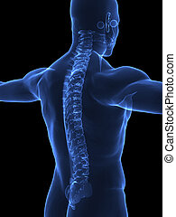 Human spine in xray - Human body with visible spine - right...