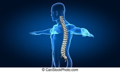 Human spine rotation  - good posture concept