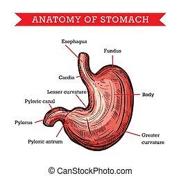 Human stomach anatomy, vector sketch medicine aid