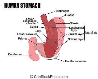 human stomach - anatomy of human stomach, vector...