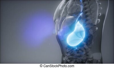 Human Stomach Radiology Exam - science anatomy scan of human...