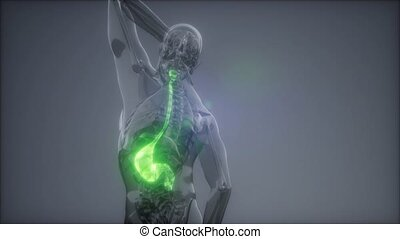 science anatomy scan of human stomach glowing