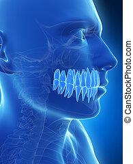 Human teeth - 3d rendered illustration of the teeth