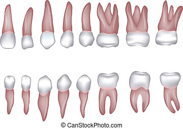 Healthy human teeth illustration. Isolated on white.