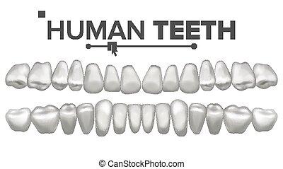Human Teeth Set Vector. Dental Health. Incisor, Canine,...