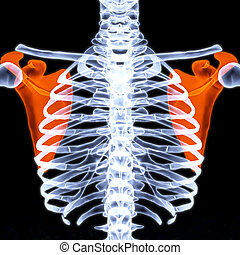 human thorax under X-rays. scapula are highlighted in red.
