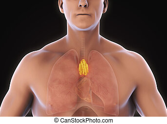 Human Thymus Anatomy Illustration. 3D render