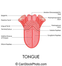 Human Tongue Anatomy - vector illustration of diagram of...