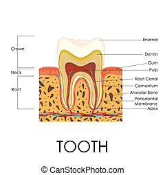 Human Tooth Anatomy - vector illustration of diagram of...