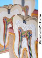 Human tooth structure - Human tooth structure