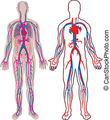Diagram of the human vein and anatomy in vector