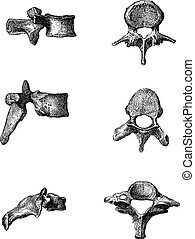 Human Vertebrae, showing side view (Left) and top view (right) of the Lumbar Vertebrae (top), Dorsal Vertebrae (middle), and Cervical Vertebrae (bottom), vintage engraved illustration. Dictionary of Words and Things - Larive and Fleury - 1895