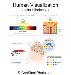 Human Visualization Color blindness.