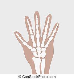 human wrist hands bones - vector