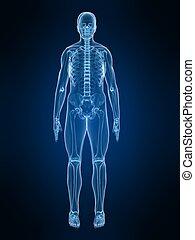 human x-ray anatomy