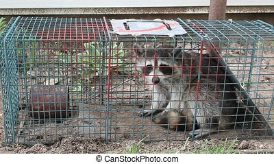 Humane Capture Of A Wild Raccoon - This cute little rascal...