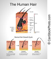Humann Hair - Hair follows a specific growth cycle with...