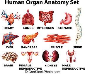 humano, órgano, anatomía, conjunto