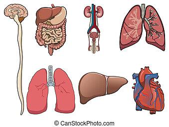 humano, órgano, en, vector