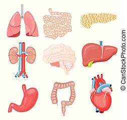 humano, órganos internos, aislado, en, white., vector, illustration.