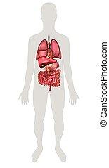 humano, órganos internos, anatomía