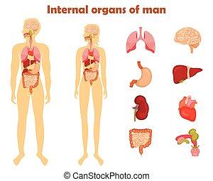 humano, órganos internos, icono, set., vector, ilustración, en, caricatura, estilo, aislado